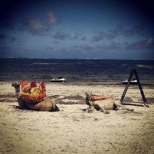 Nowthisisactofchilling Camels Mombasa Kenya beach nimelalaboss webstagram statigram holiday