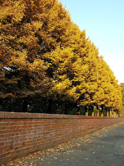 Tree Outdoors No People Nature Day Sky Beauty In Nature Autumn Autumn Trees In A Row Trees In Autumn Brick Wall Jellow Foliage Piedmont, Italy Langhe