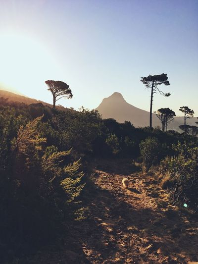 Dog walking on mountain, Cape Town. Animal Themes Beauty In Nature Bird Clear Sky Day Dog Domestic Animals Hike Landscape Mammal Nature No People One Animal Outdoors Silhouette Sky Sunset Tree Walking