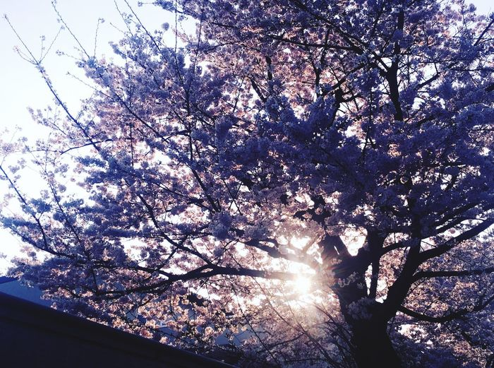 春 東京 桜 Tree Plant Low Angle View Sky Nature Branch Sunlight First Eyeem Photo