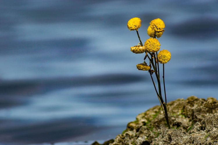 Close-Up Of Yellow Flowers Against Sky