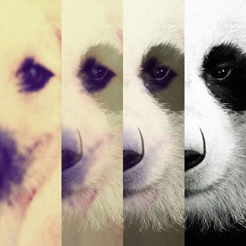 Mi cachorro es un panda OMG :3