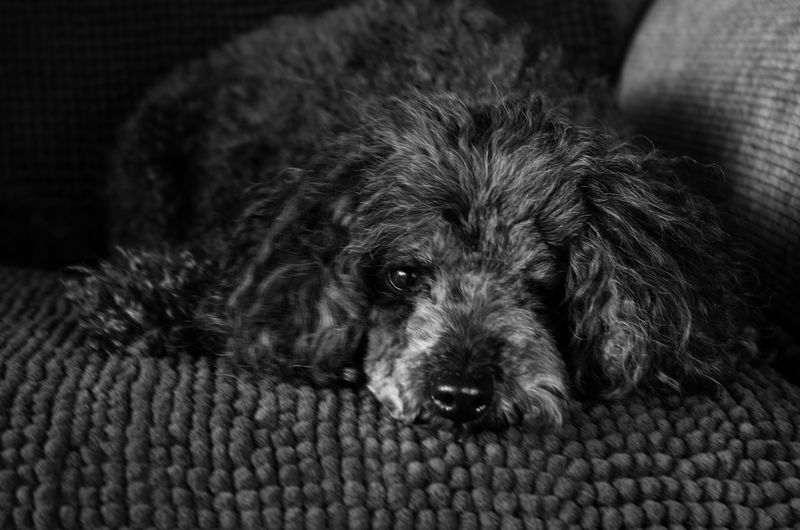 Close-up portrait of dog relaxing on sofa