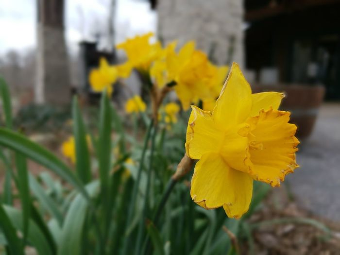 Spring has Sprung Springtime Flower Head Flower Yellow Daffodil Springtime Petal Blossom Close-up Plant Flowering Plant Blooming