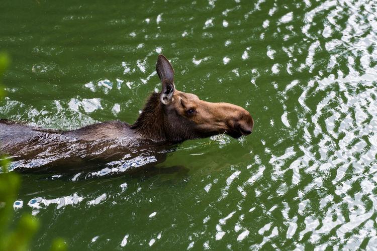 View of moose in water