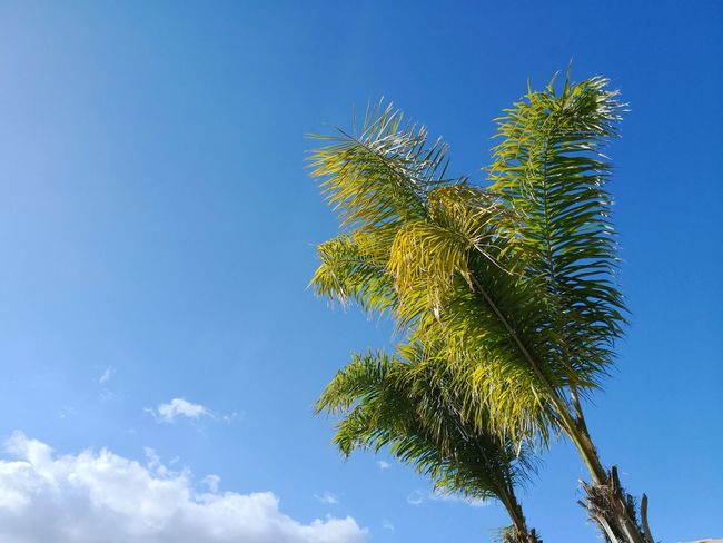 Palm tree and blue sky with cloud Holidays Palm Leaves Tree Clear Sky Palm Tree Blue Plant Part Leaf Summer Social Issues Sunny Branch Apple Blossom Cumulus Cloud Cumulonimbus Meteorology Fluffy Sky Only Plant Life In Bloom Blooming Treetop Heaven Stratosphere Single Tree Natural Parkland Botany Tree Area Flower Head