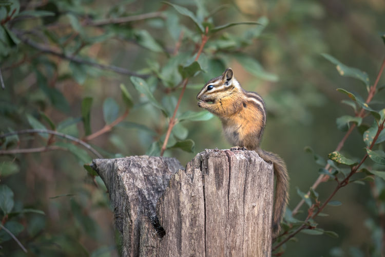 Finally managed to capture a decent shot of one of these little critters! I realise they probably provide about as much inspiration to North Americans as seeing some field mice, but to someone from the antipodes of the earth it was quite exciting. The least chipmunk (Tamias minimus) is the smallest species of chipmunk measuring about 15.7–25 cm (6.2–9.8 in) in total length with a weight of 25–66 g (0.88–2.33 oz). They are fast moving and hard to capture it seems. Jasper National Park, Alberta, Canada Love Life, Love Photography Alberta Least Chipmunk Squirrel Tamias Minimus Animal Themes Animal Wildlife Animals In The Wild Canada Chipmunk Close-up Day Focus On Foreground Jasper National Park Leaves Mammal Nature No People One Animal Outdoors Perching Small Squirrel Stump Tree Wildlife