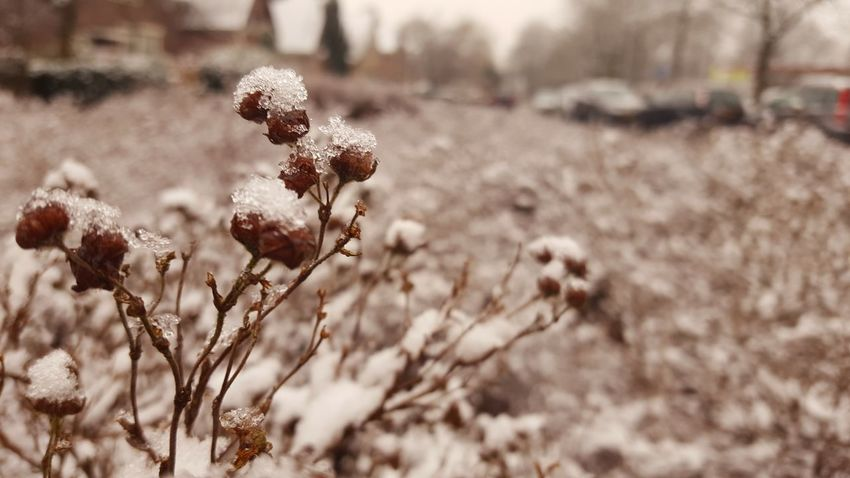 Snowy💐☃️ Nature Day Focus On Foreground No People Growth Outdoors Winter Plant Beauty In Nature Close-up Freshness Snowy Days...
