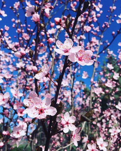 Nature Green Color Flowers Flower Flowers,Plants & Garden Cherry Flowers Cherry Flower Beauty In Nature Cherry Blossom Blossom Tree