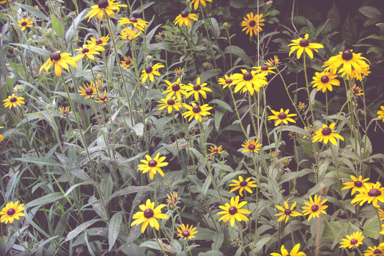 Beauty In Nature Black-eyed Susan Blooming Close-up Day Field Flower Flower Head Fragility Freshness Full Frame Growth Nature No People Outdoors Petal Plant Yellow