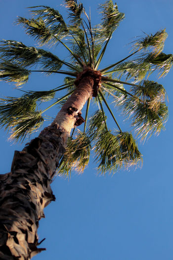 Palm Tree Blue Branch Clear Sky Close-up Day Low Angle View Nature No People Outdoors Sky Summer Tree Tree Trunk