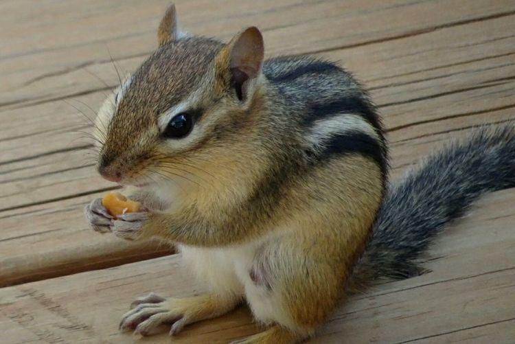 Chipmunk Eat Eating Nibble Cute