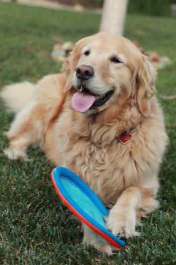 High Angle View Of Golden Retriever Relaxing With Toy On Grassy Field