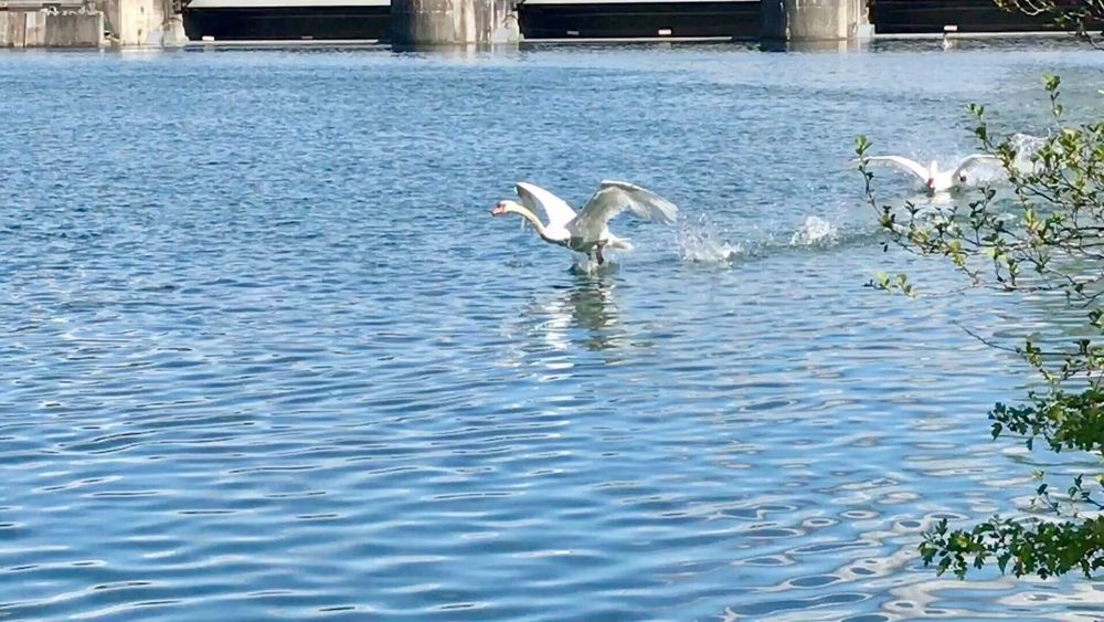Animals In The Wild Bird Animal Themes Water Animal Wildlife Nature Day Lake No People Waterfront Swan Spread Wings Outdoors Beauty In Nature