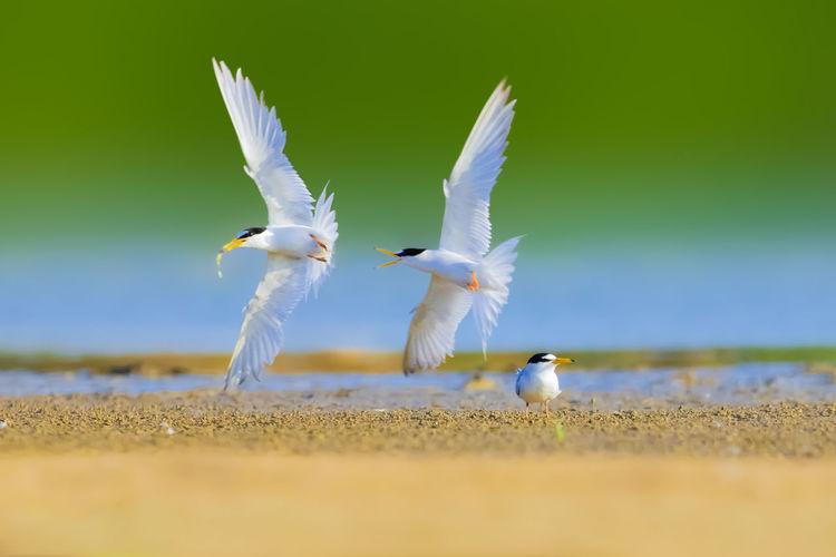 【白额燕鸥】有时侯雄鸟衔条鱼找机