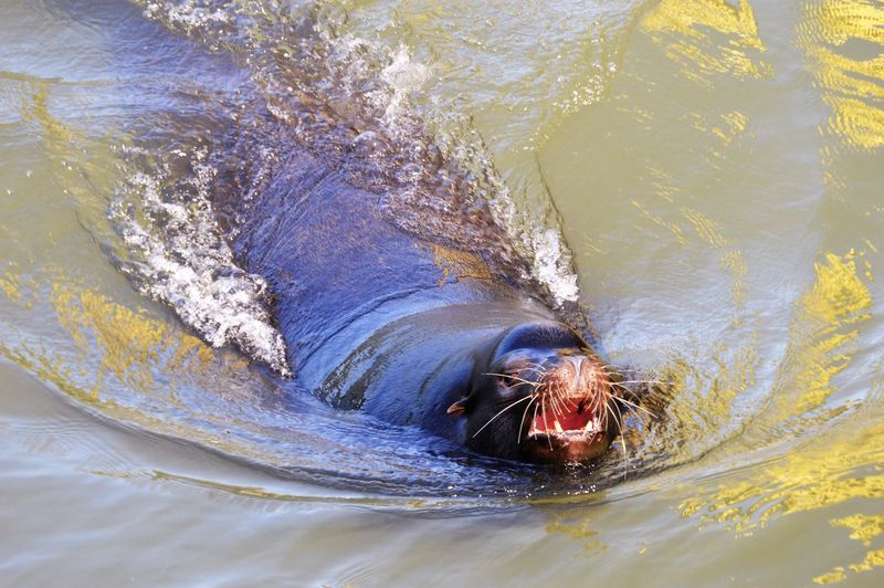 Sea lion swimming in the sacramento river looking for a place to sunbathe