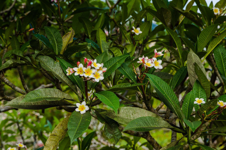 After The Rain Bali Bali, Indonesia Plumeria Beauty In Nature Blooming Close-up Day Flower Flower Head Fragility Freshness Green Color Growth Lantana Camara Leaf Nature No People Outdoors Park - Man Made Space Periwinkle Petal Plant