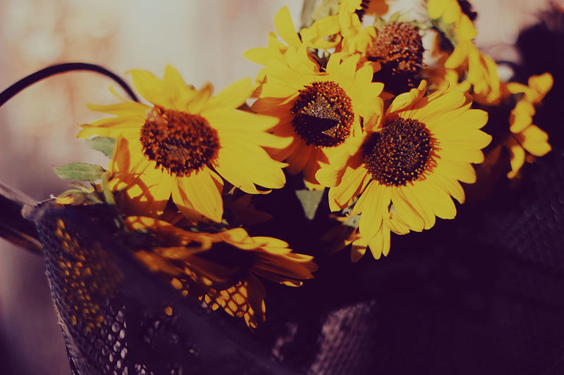 The last colors of Summer Bright Feel The Journey Sunflower Yellow Flower Yellow Leaves Bike Gear Geer Old Bike Overalls Sunflowers Sunset Vitage Yellow Yellow Bike Yellow Color Yellow Flowers