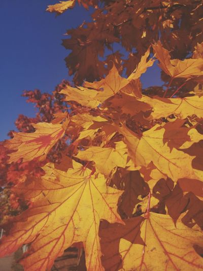 Close-up of yellow maple leaves against clear sky