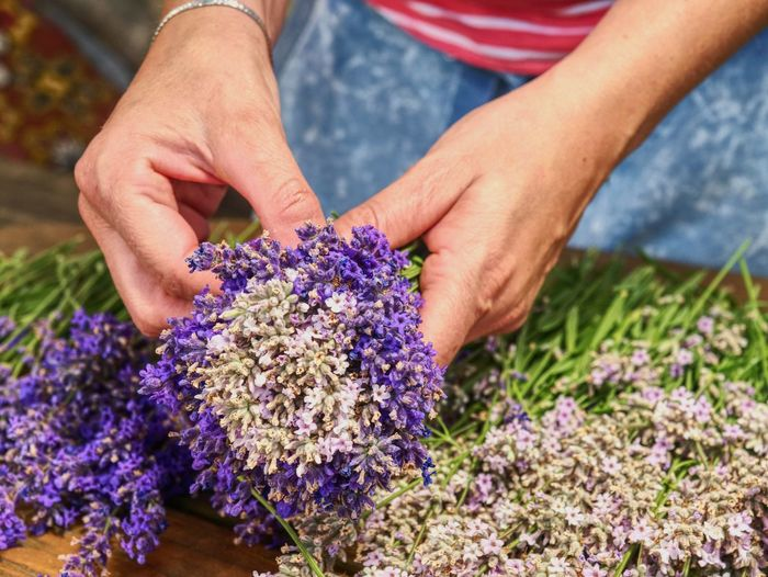 Woman hands binding lavender flowers with scissors and string. gathering a bouquet of lavender.
