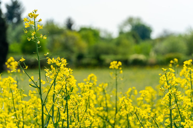 Agriculture Beauty In Nature Crop  Day Farm Field Flower Flowering Plant Focus On Foreground Freshness Growth Land Landscape Nature No People Oilseed Rape Outdoors Plant Rural Scene Scenics - Nature Springtime Tranquility Yellow