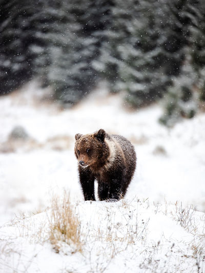 Wild brown bear in the snowy forest. animal looking at the camera.snowing in the forest.