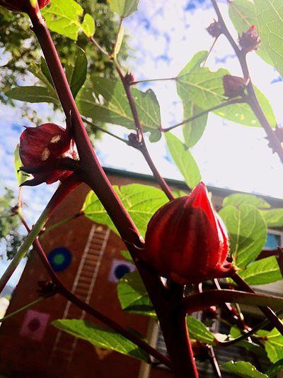 Rosella Rosella Flower Rosella Jam Cairns