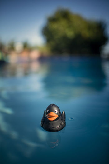 Close-up of a duck floating on the sea