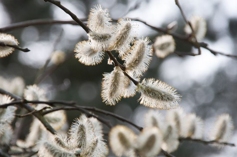 Close-up of pussy willows growing on tree