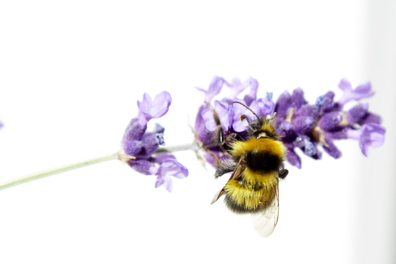 flower, invertebrate, flowering plant, insect, fragility, animals in the wild, close-up, purple, animal themes, animal wildlife, vulnerability, beauty in nature, bee, flower head, animal, petal, freshness, plant, one animal, growth, pollination, no people, bumblebee