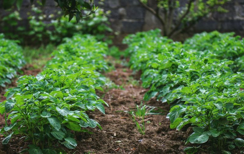 Potato Plants Potatoes Vegetables Healthy Food Taking Photos Feeling Creative OpenEdit EyeEm Best Shots Freshness EyeEm Nature Lover Nature Growth High Angle View Agriculture Close-up Plant Green Color Vegetable Garden Homegrown Produce Gardening