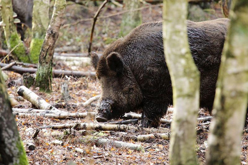 Wild boar standing by trees on field