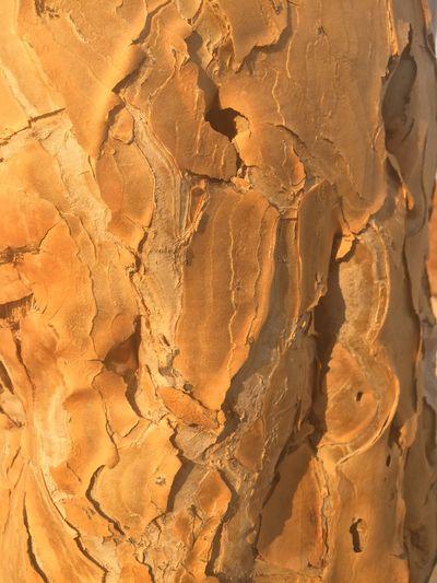 Quiver Namibia Deserts Around The World Desert Beauty Namib Desert Desert Plants Quivertree  Bark Bark Texture Aloe Dichotoma Ochre Africa EyeEm Nature Lover Nature Texture Naturephotography Natural Pattern Textured
