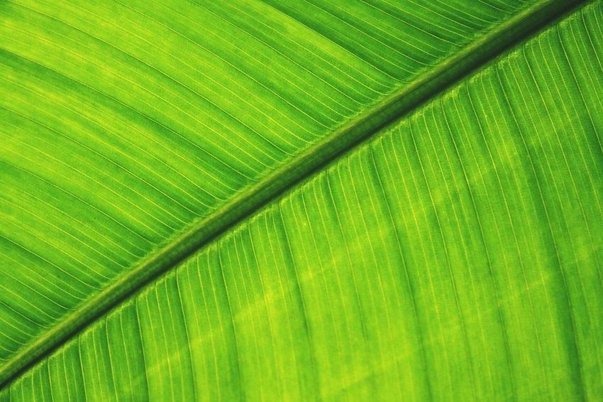 Leaf Leafs Green Nature Nature_collection Nature Photography Bothanic Diagonal Diagonal Lines Nature Patterns