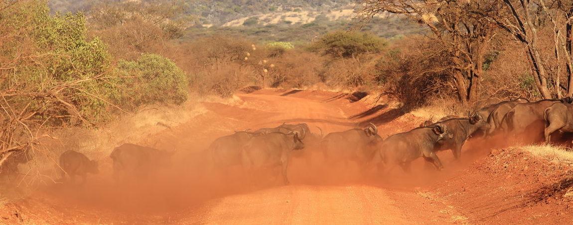 Buffalo in Tsavo West, Kenya Africa Agitated Animal In Wild Arid Climate Buffalo Buffalo Herd Crossing The Road Desert Kenya Landscape Movement National Parks Kenya Red Sand Sand Stampede Tsavo West Wildlife