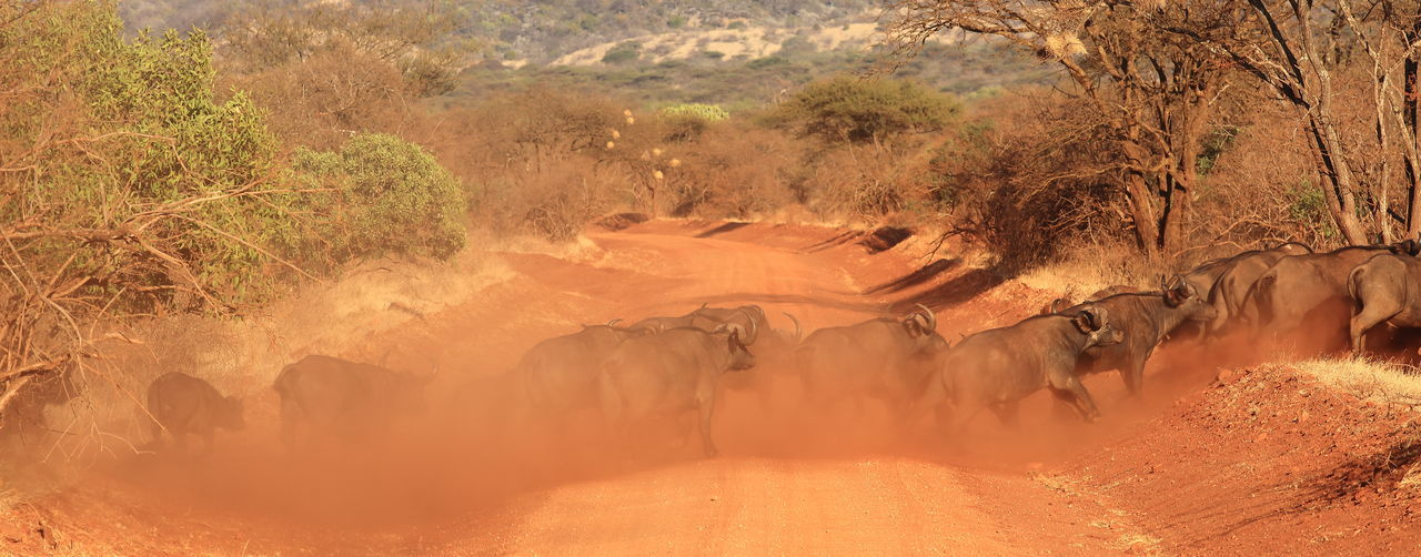 Buffaloes crossing dirt road by dust at tsavo east national park