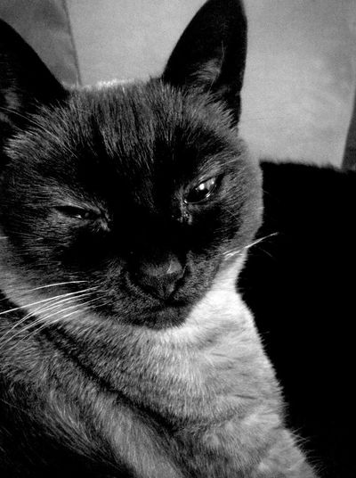 Swag Chat Siamese First Eyeem Photo