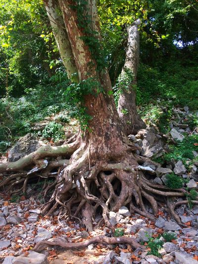 Sycamore tree with exposed roots Tree Nature Growth Forest Root Tree Trunk No People Day Outdoors Tranquility Moss Tranquil Scene Green Color Plant Beauty In Nature Branch Dead Tree Roots Roots Of Tree Sycamore Sycamore Tree Beauty In Nature Tree Trees