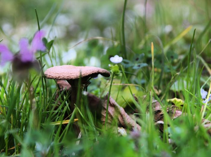 Close-up of mushroom growing in grass