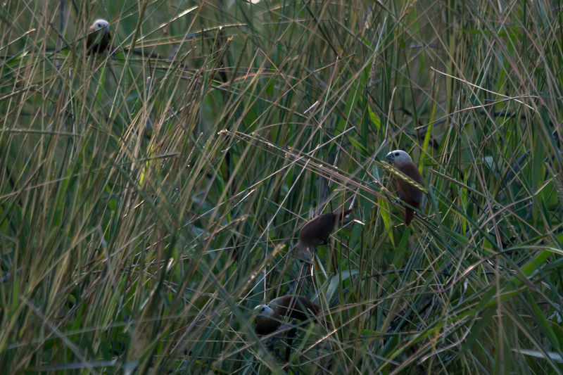 White-headed munia in the weeds Animal Themes Animals In The Wild Beauty In Nature Bird Birds Birds Of EyeEm  Lonchura Maja No People Outdoors White-headed Munia Wildlife