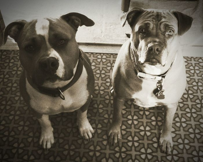 Pets Dog Domestic Animals Animal Themes No People Reno, NV Adapted To The City EyeEmNewHere Close-up Happy Dog Fat Dog Good Girl  Dogslife Love My Dogs Who Saved Who? Rescue Dog Boxer Mix Ridgeback Mix Mixed Breed Pibblelove Good Boy Bullybreed Bully Pitbull Puppies Dogs Of EyeEm