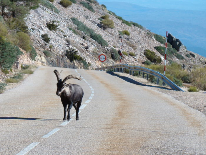 Cabra Montes Goat Mountain Goat Animal Themes Cabra Day Domestic Animals Full Length Mammal Mountain Nature No People One Animal Outdoors Road The Way Forward Transportation