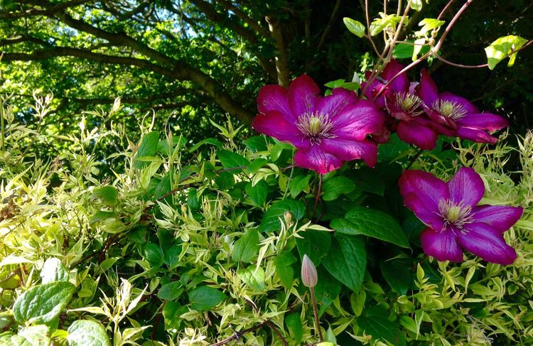 Clematis Growing Our Own