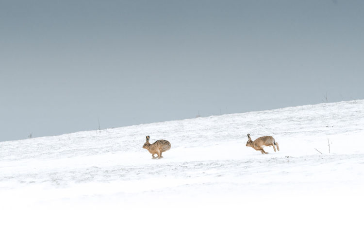 Two dogs on snow covered landscape against clear sky