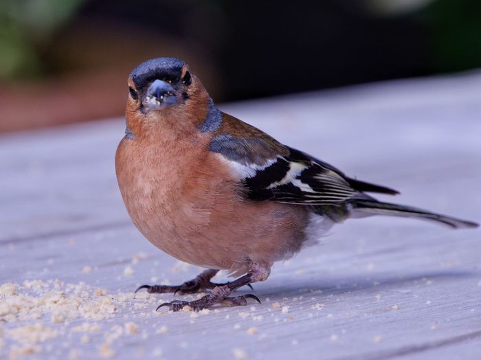 Close-up of male chaffinch perching on woodwooden table eating crumbs.