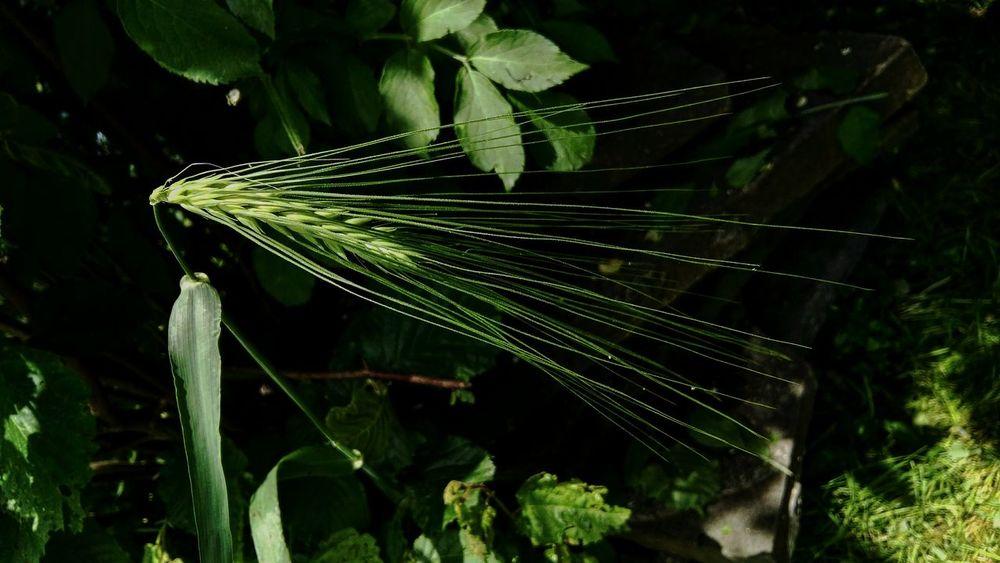 Grashalm Corn Korn Wiesengras Light And Shadow Focused Huaweig8 Nature Photography Natura Green Garden Nature Is Art Eyeemoninstagram The Great Outdoors - 2016 EyeEm Awards