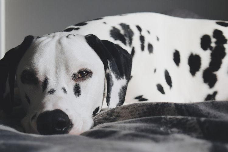 Vscgood Dogs Dalmatiansofinstagram Nikon D3300 Dog Pets Of Eyeem Vscophile Dalmatians Ukdogs Capture The Moment Eyemphotography VSCO Vscogood EyeEm Best Shots Snowflakethedalmatian Petsofeyeem Vscopets Dogs Of EyeEm Dal Vscocam Vscofilm Dalmatian