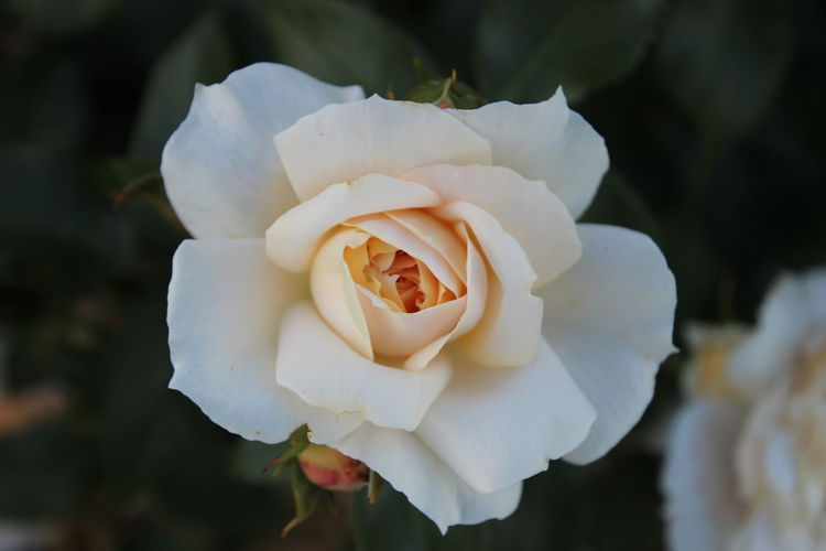 White rose, queen of flowers! Beauty In Nature Blooming Close-up Day Flower Flower Head Focus On Foreground Fragility Freshness Growth Nature No People Outdoors Petal Plant Rose - Flower White Color