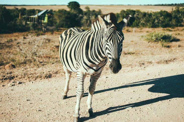 Zebras Nature Photography Outdoor Activity South Africa Wild Zebra Zebra Animal Animal Themes Animal Wildlife Animals In The Wild Day Experience Herbivorous Mammal Nature No People Outdoors Safari Safari Animals Vertebrate Watching Animals Wilderness Wildlife Zebra Zebra Stripes Zebras