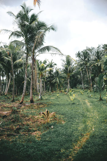 Phuket Thailand Animal Themes Beauty In Nature Coconut Island Day Field Grass Growth Landscape Mammal Nature No People Outdoors Palm Tree Scenics Sky Tree